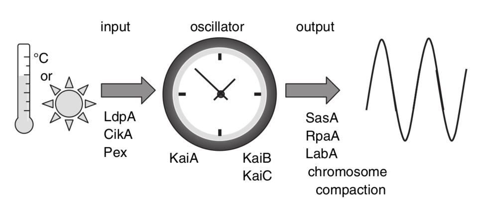 Standard bacterial circadian clock
