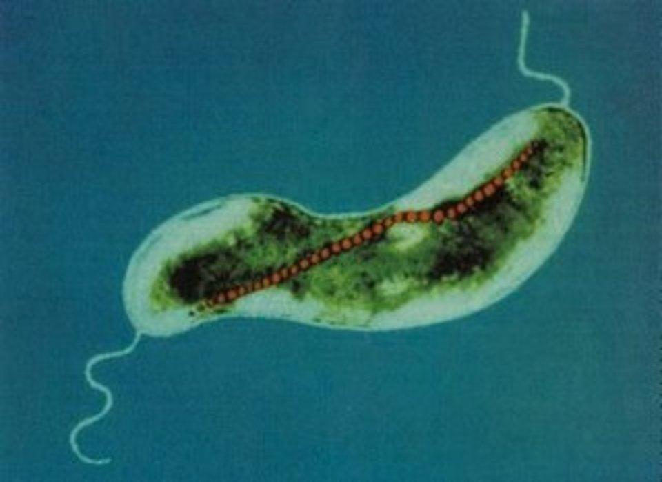 Standard magnetic bacterium 01