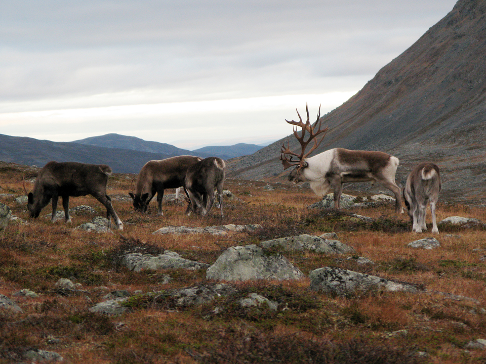 Standard flickr reindeer