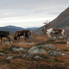 Thumb flickr reindeer