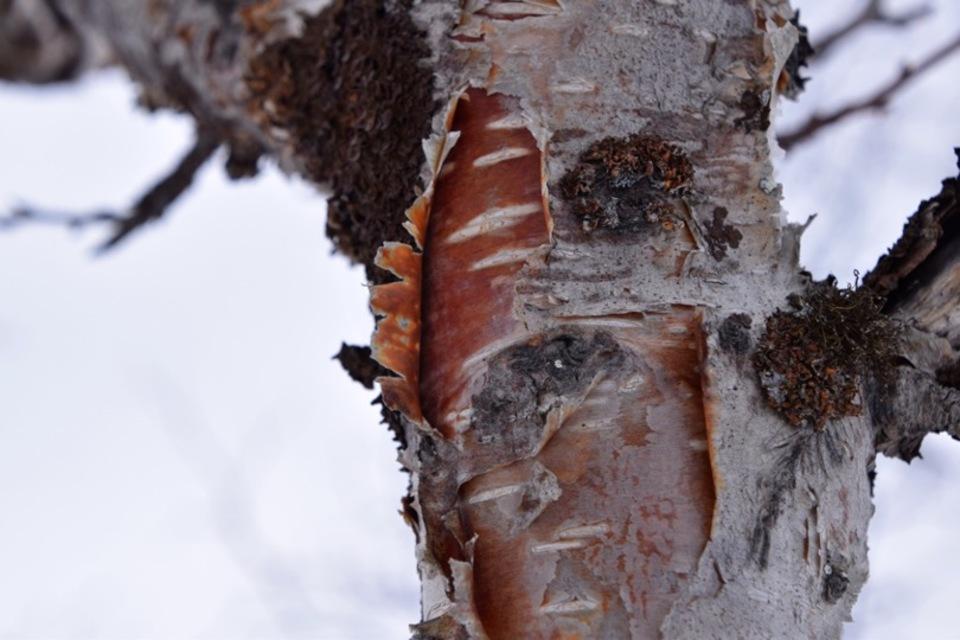 Standard betula pubescens