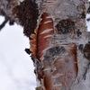 Thumb betula pubescens