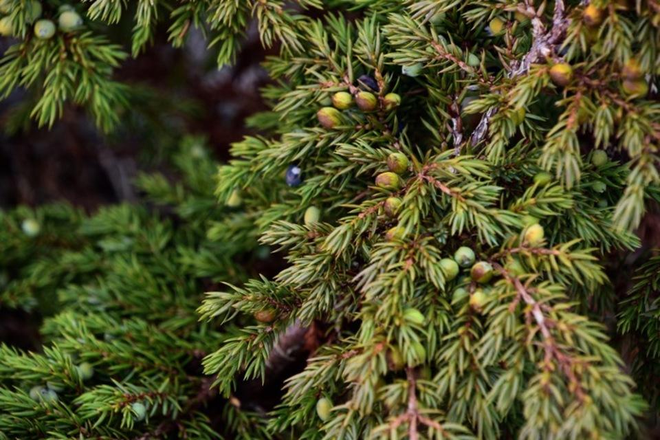 Standard alpine juniper