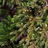 Thumb alpine juniper